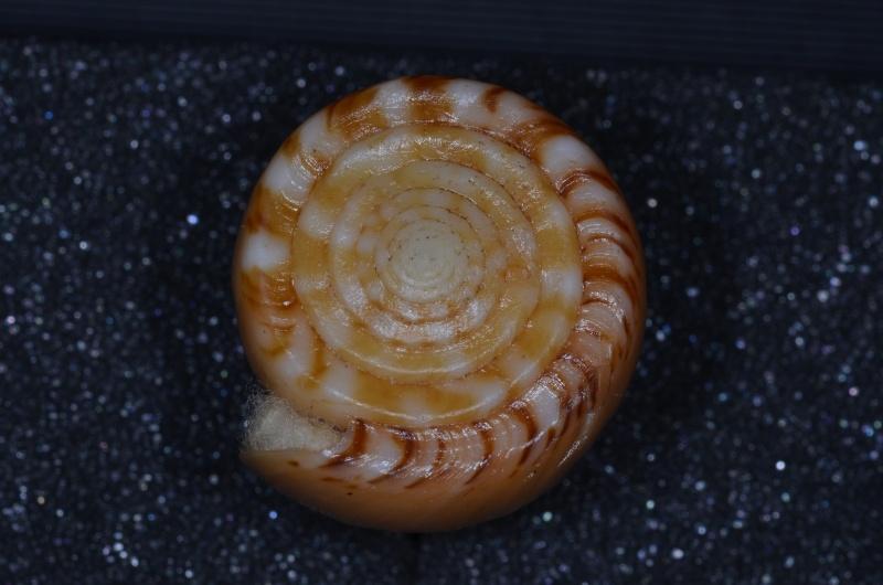Conus (Dauciconus) boui   da Motta, 1988 - Page 2 Daucic36