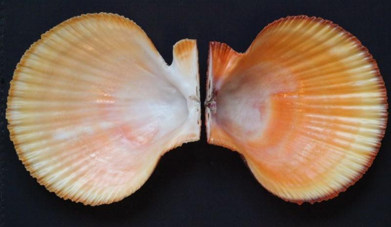 Chlamys islandica - (O. F. Müller, 1776)  16181310
