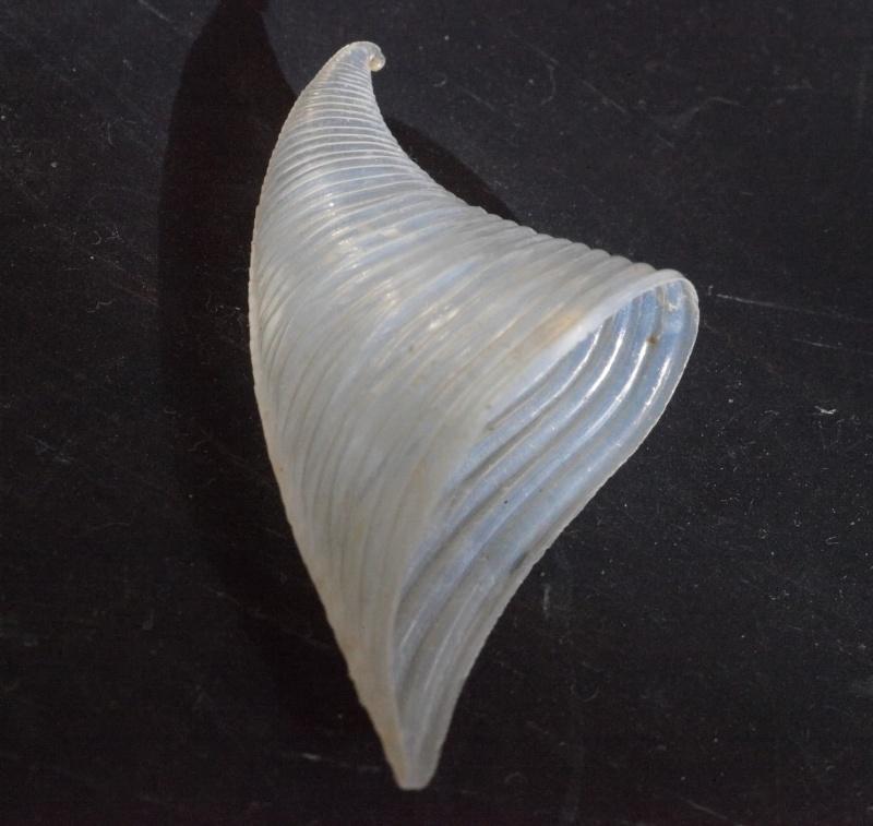 Carinariidae - Carinaria cristata - (Linnaeus, 1767)  17954310