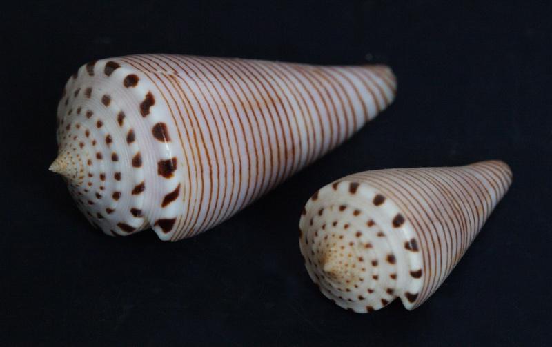 Conus (Klemaeconus) hirasei   Kuroda, 1956 - Page 2 Taga10