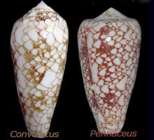 ze question = conus convolutus Compar11