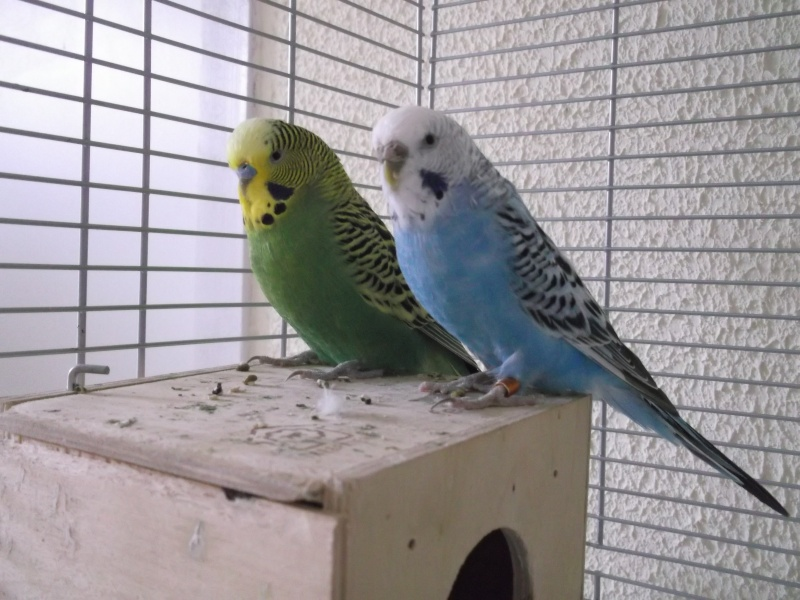 album photo de mes oiseaux  Dscf2518