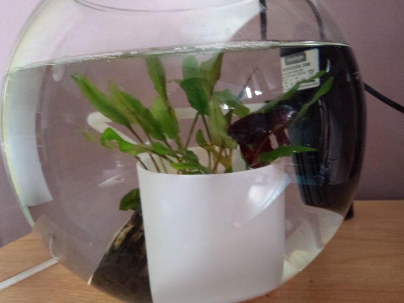 Mon premier betta et poisson !  Img_2011