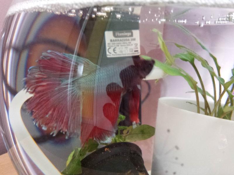Mon premier betta et poisson !  Img_2012