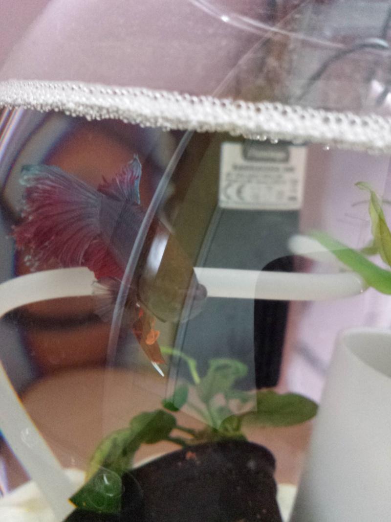 Mon premier betta et poisson !  Img_2016