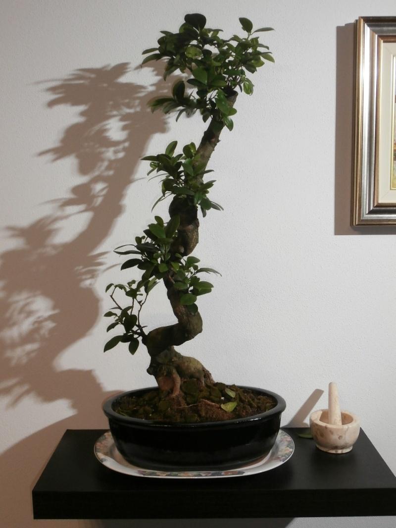 """Ficus Retusa """"Perronius"""" Perron12"""