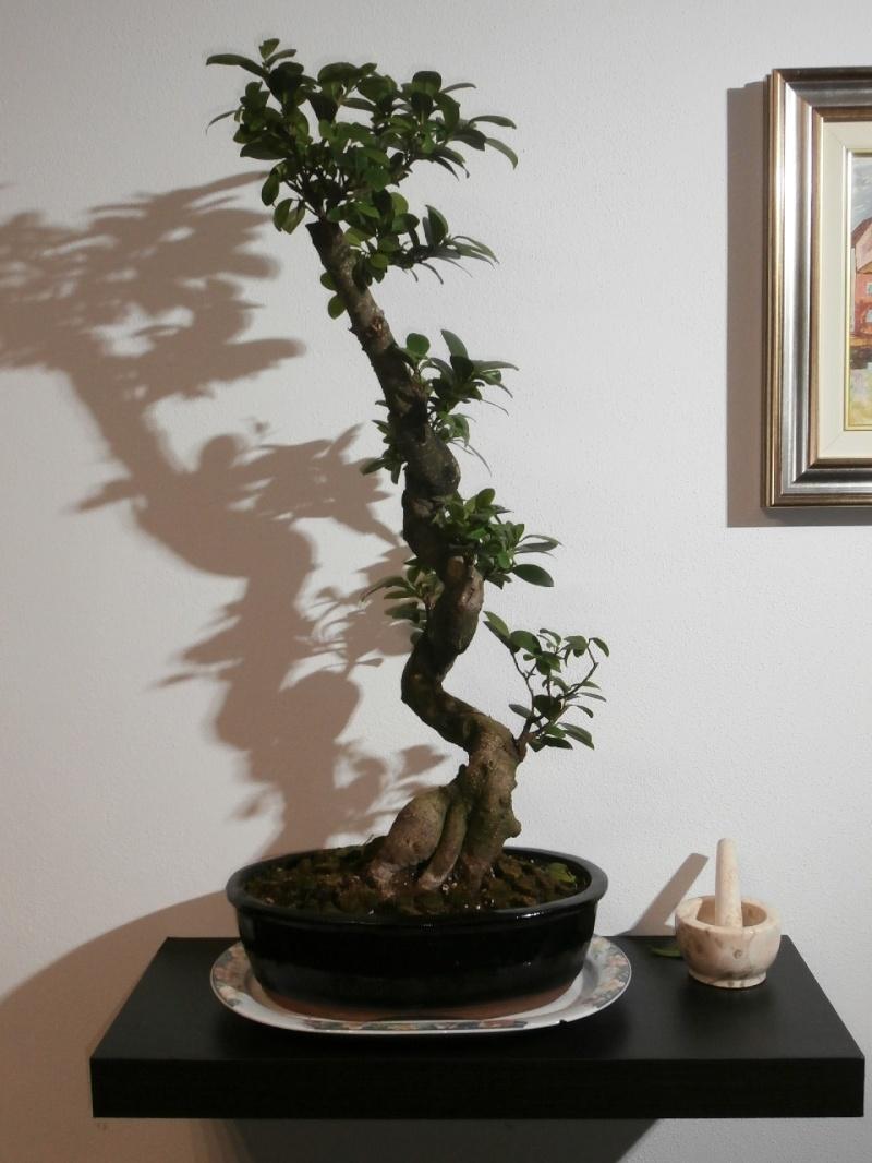 """Ficus Retusa """"Perronius"""" Perron13"""