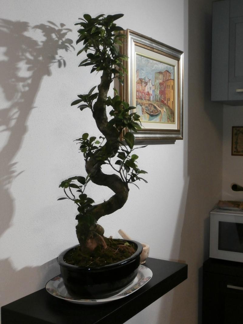 """Ficus Retusa """"Perronius"""" Perron14"""