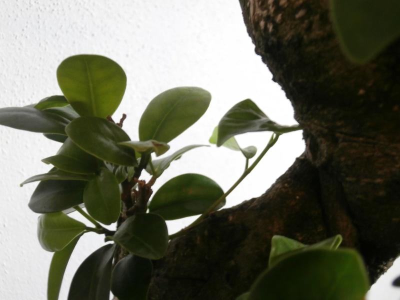 """Ficus Retusa """"Perronius"""" Perron15"""