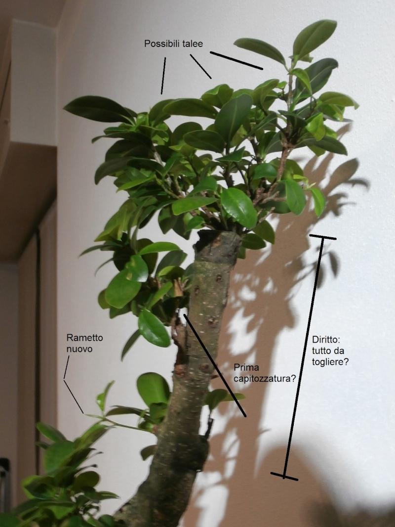 """Ficus Retusa """"Perronius"""" Perron16"""