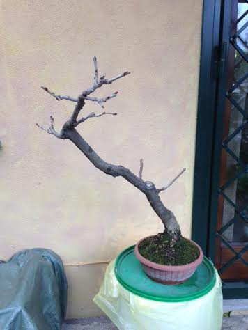 [W.I.P.] Glicine Floribunda Rosea Unname11