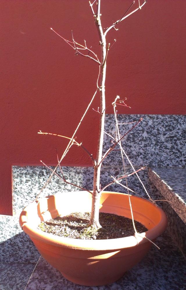 Acero Palmato Rosso Imag0412