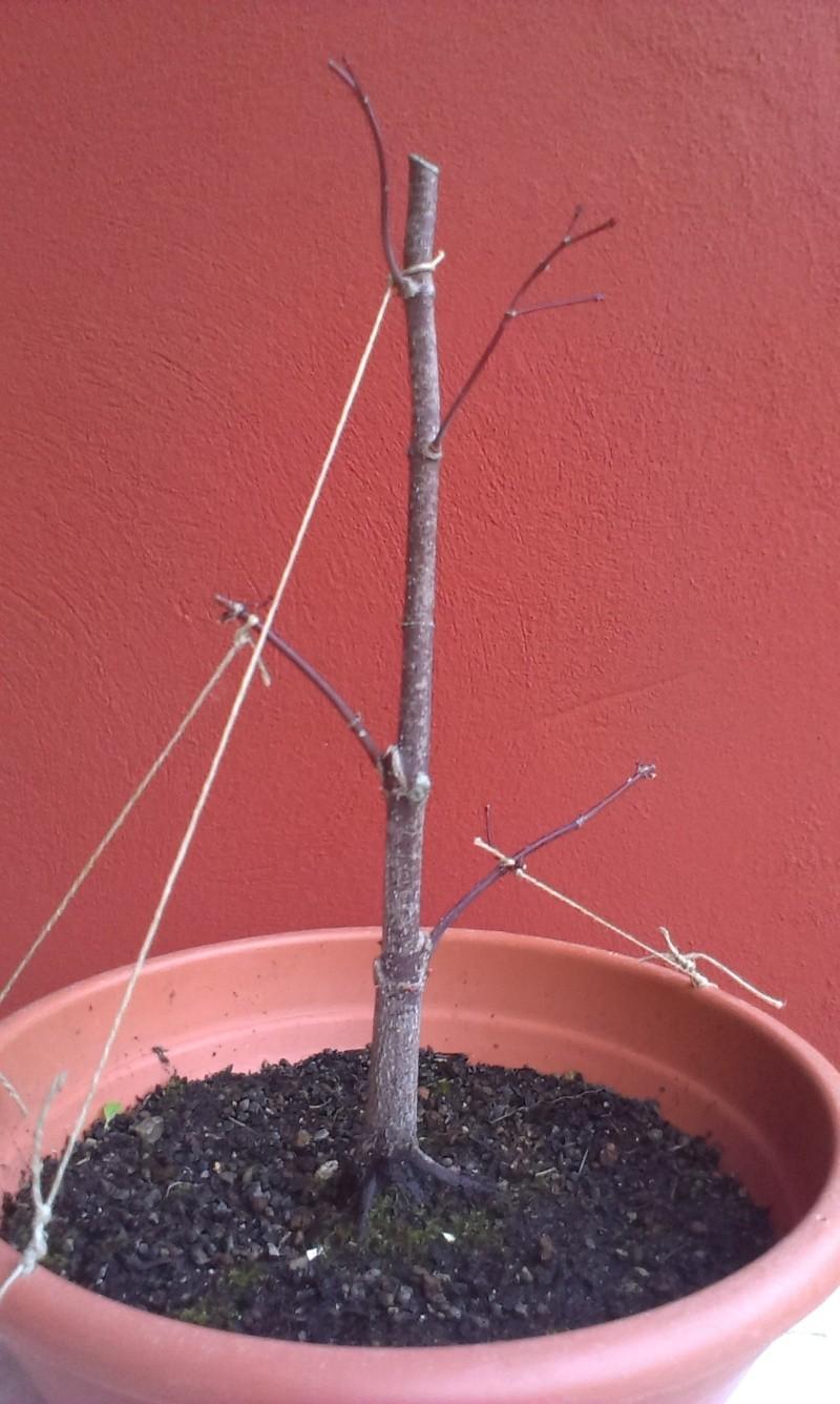 Acero Palmato Rosso Imag0422