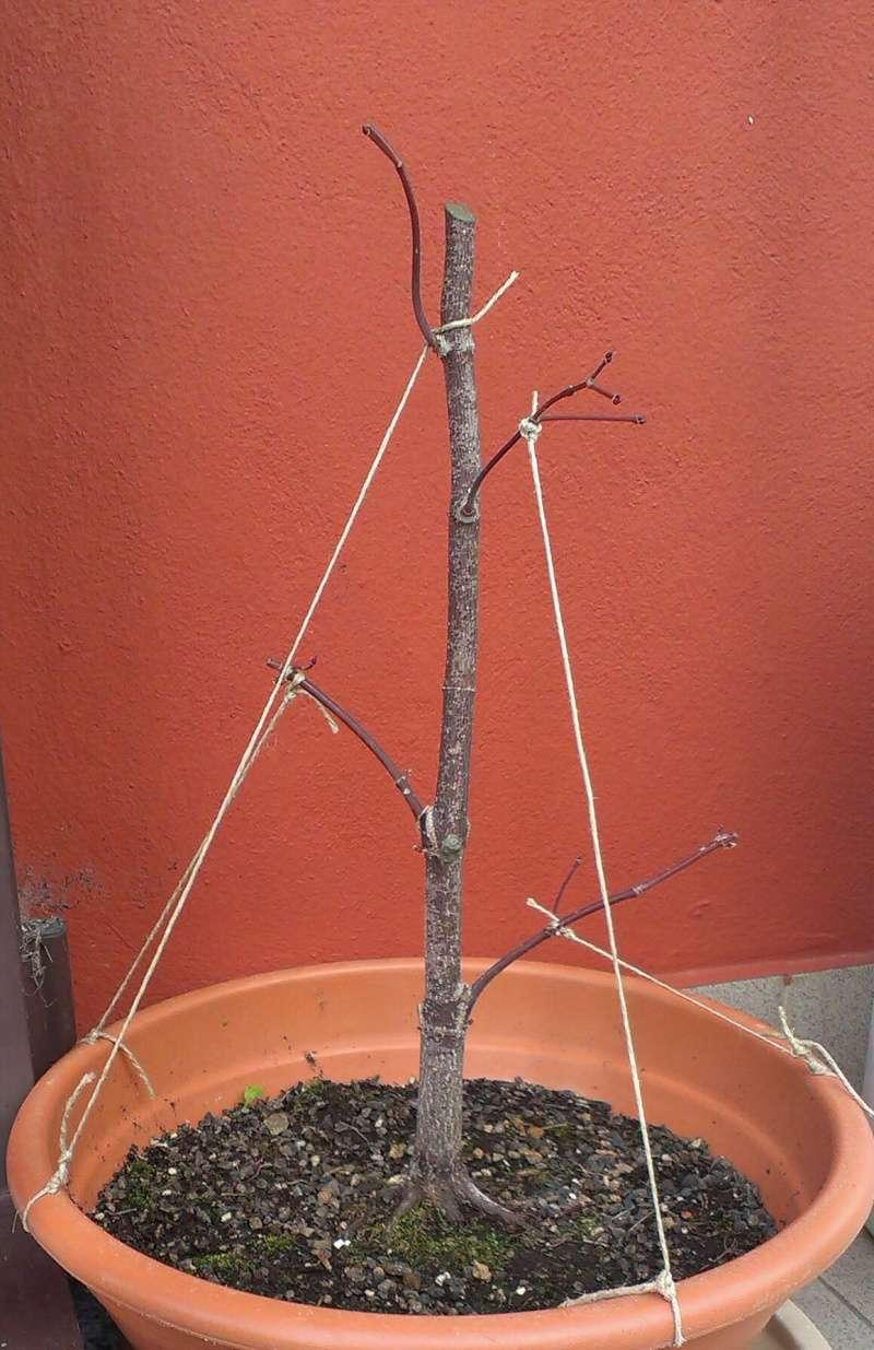 Acero Palmato Rosso Imag0423