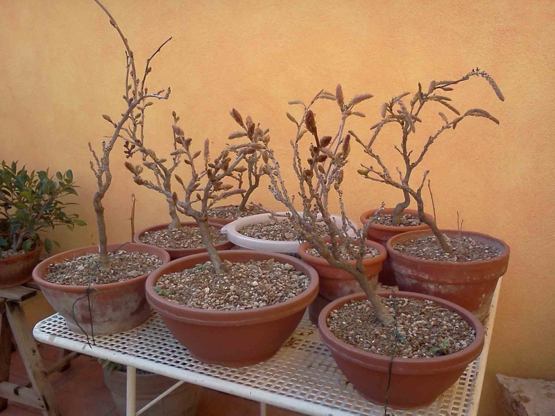 [W.I.P.] Glicine Floribunda Rosea - Pagina 2 610