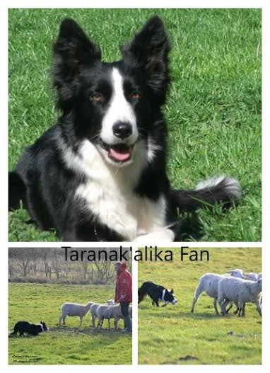 A RESERVER CHIOTS BORDER COLLIE LOF Photo_10