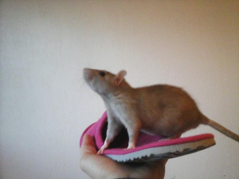 sauvetage rate 3 mois Haute Savoie Rat bleu Femelle  20150123