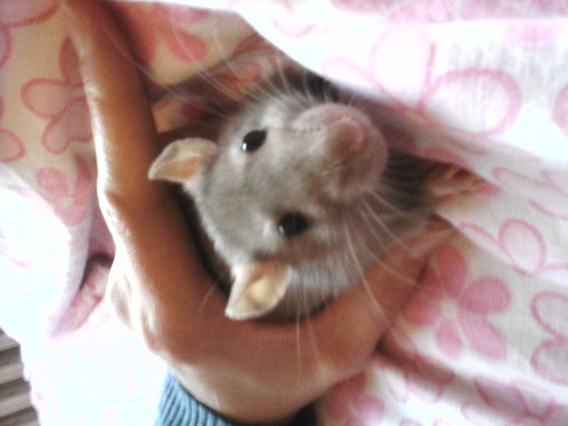 sauvetage rate 3 mois Haute Savoie Rat bleu Femelle  20150124