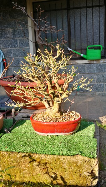 New arrive in my collection Euonymus B85d7710