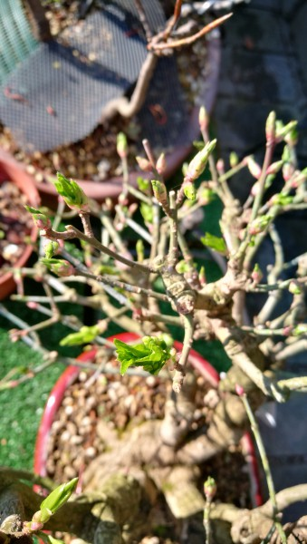 New arrive in my collection Euonymus Ecd84210