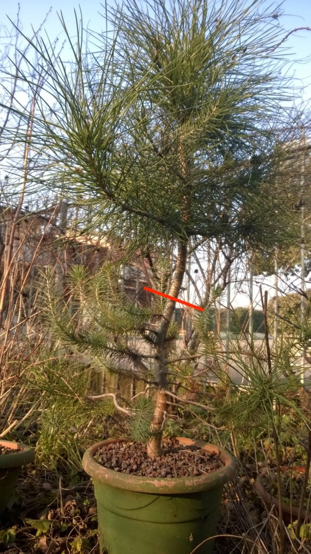 ebbene si...pinus pinea. (AGGIORNAMENTO 2019 A PAG.3) - Pagina 3 Whatsa10