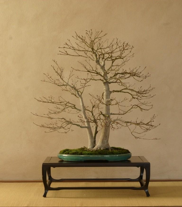 Insieme al maestro sulle strade del bonsai - Gemellaggio tra i club bonsai del veronese Acero10