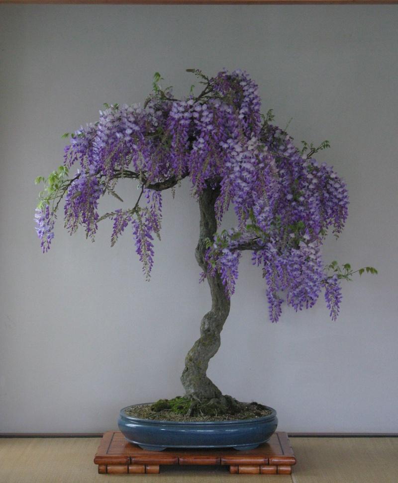 Insieme al maestro sulle strade del bonsai - Gemellaggio tra i club bonsai del veronese Vaso10