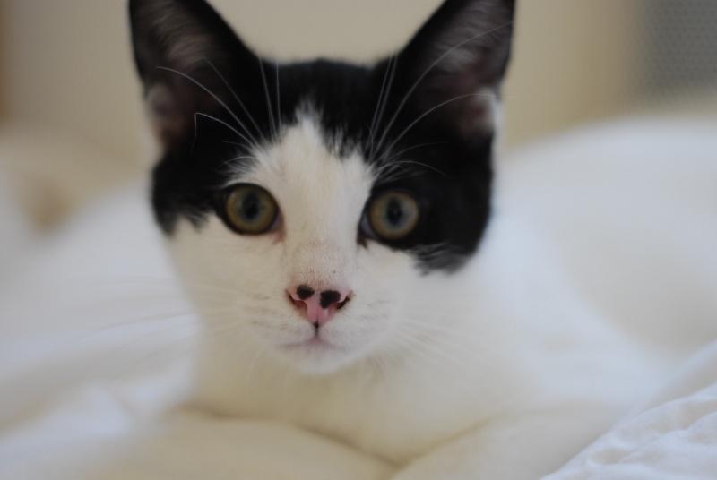 JERICHO, chaton mâle blanc à taches noires, né le 20/08/14 _dsc0014