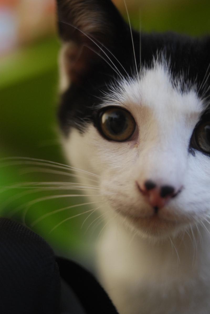 JERICHO, chaton mâle blanc à taches noires, né le 20/08/14 _dsc0015
