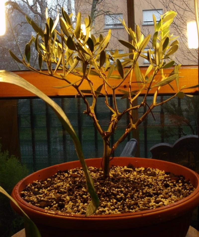 Piano di crescita olivo 1_oliv10