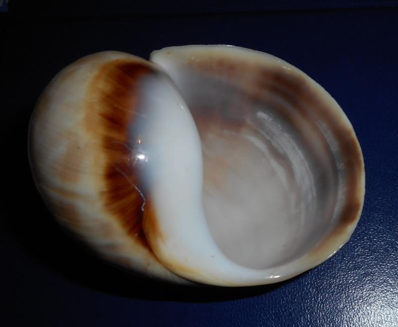 Ampullinidae - Cernina fluctuata - (G. B. Sowerby I, 1825)  Dscn0127