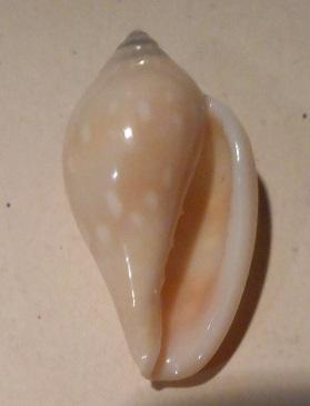 Marginella pseudosebastiani - Mattavelli, 2001 Dscn0525