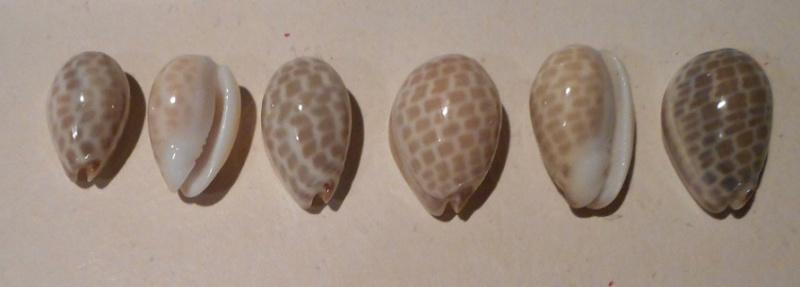 Persicula tessellata - (Lamarck, 1822) Dscn0816