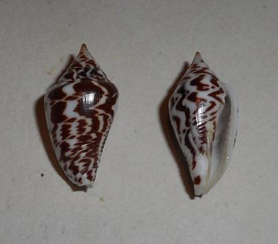 Parametaria epamella - (Duclos, 1840) Dscn1122
