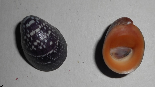 Neripteron violaceum - (Gmelin, 1791) Dscn1313
