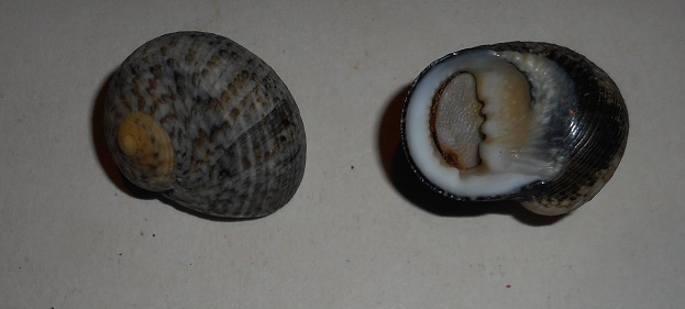 Nerita longii - Récluz, 1842 Dscn1417