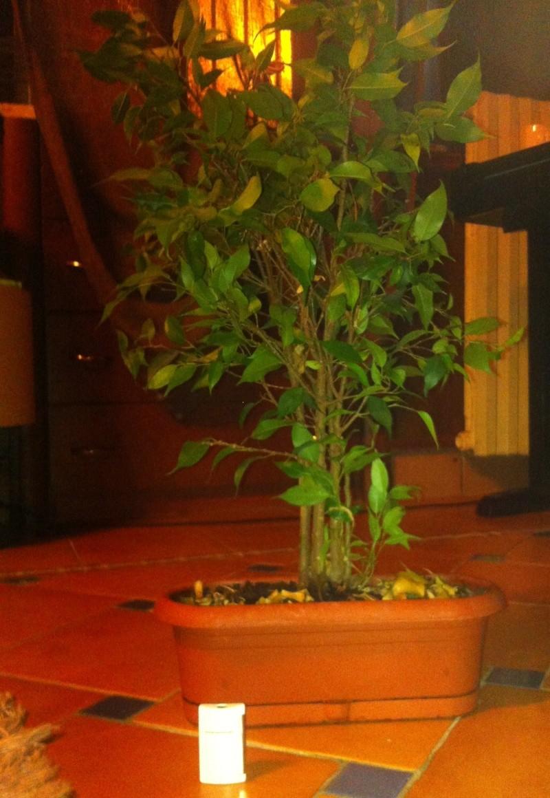 Ficus : consigli per impostare una pianta cresciutella in bonsai  Pianta12