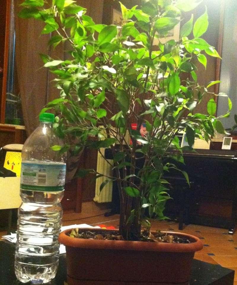 Ficus : consigli per impostare una pianta cresciutella in bonsai  Pianta13