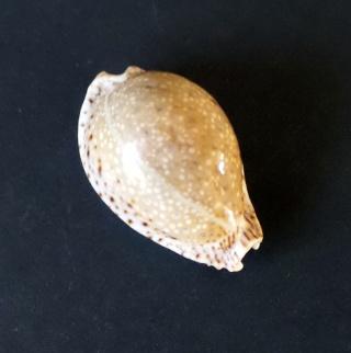 Identification Cypraea 2015-012