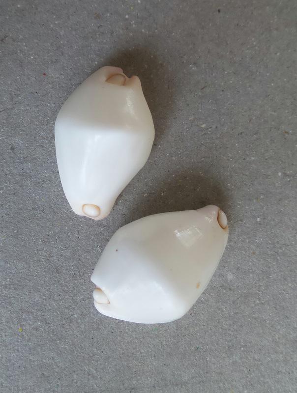Calpurnus verrucosus - (Linnaeus, 1758) 2015-031