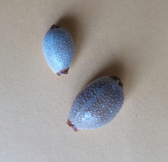 C'est la plus ressemblante?? = Staphylaea staphylaea laevigata 2015-034