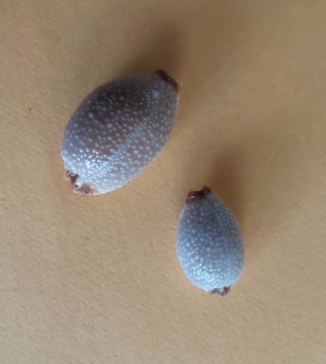 C'est la plus ressemblante?? = Staphylaea staphylaea laevigata 2015-035
