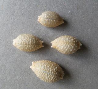 cypraea granulata cassiaui je n'y crois pas 2015-051