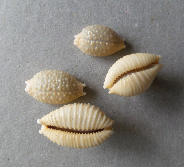 cypraea granulata cassiaui je n'y crois pas 2015-052