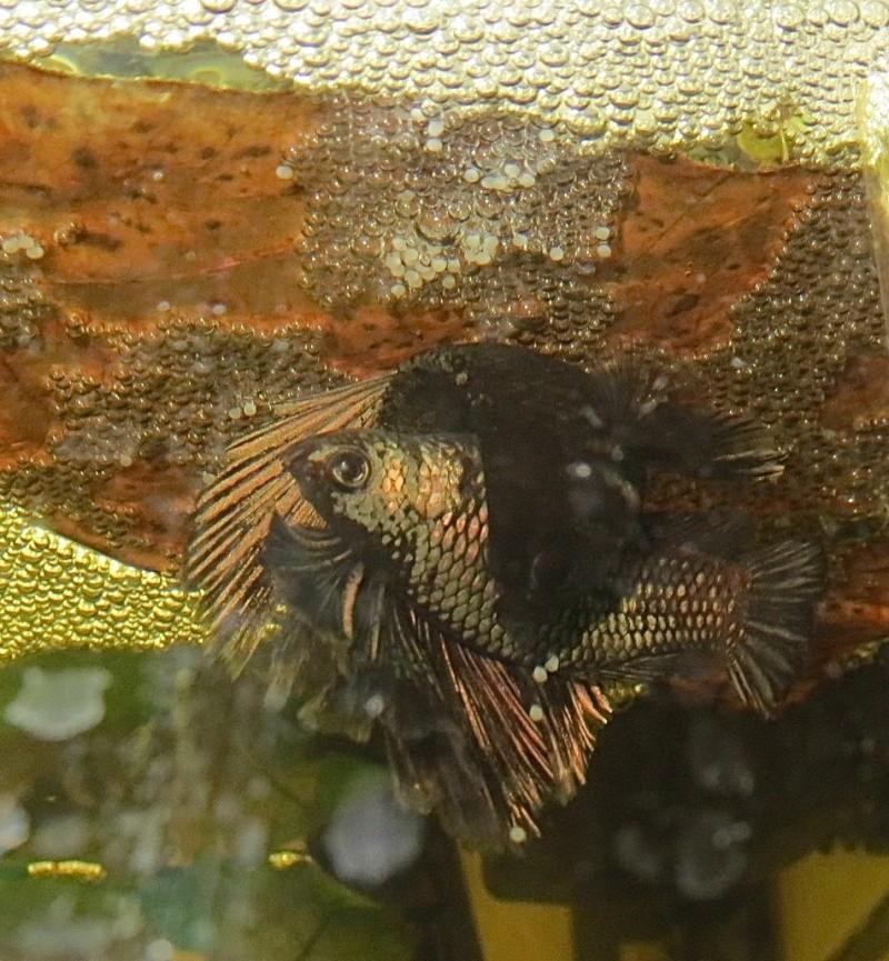 repro black copper : 1er mâle séparé ! Img_0510