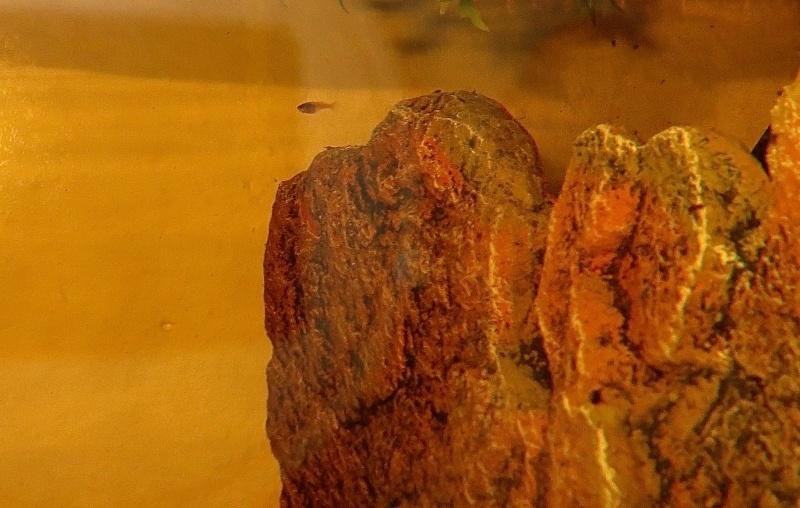 repro black copper : 1er mâle séparé ! Img_0614