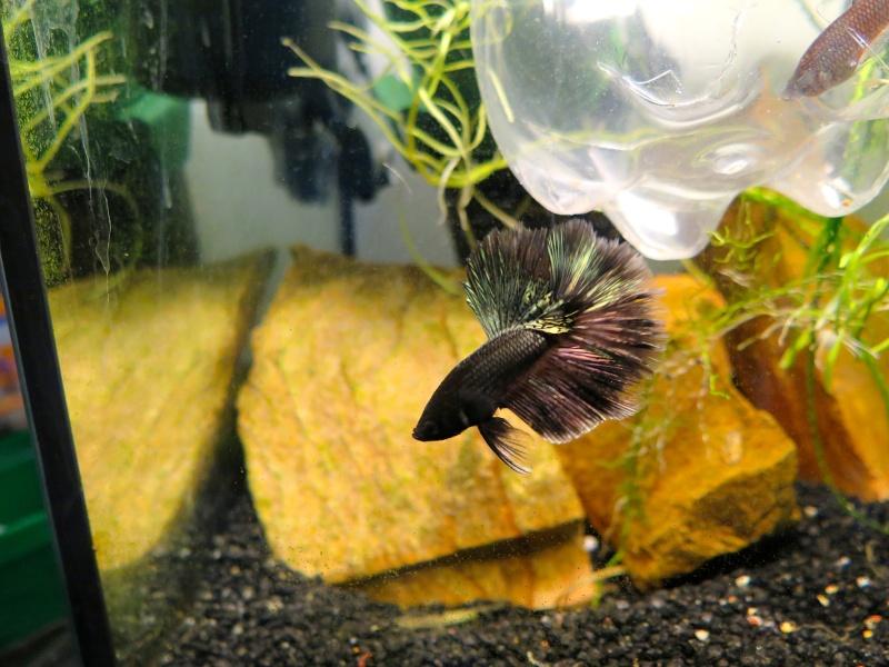 repro black copper : 1er mâle séparé ! Img_0711