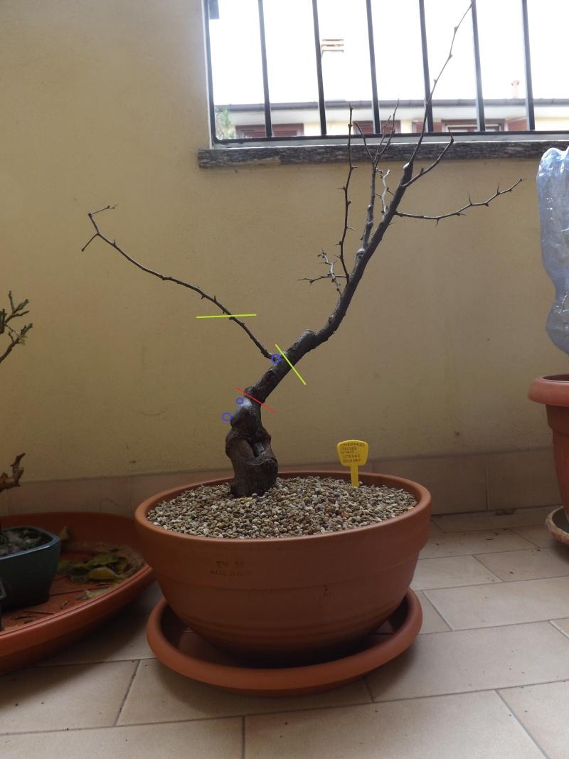 Chaenomeles Speciosa Nivalis 2014-115