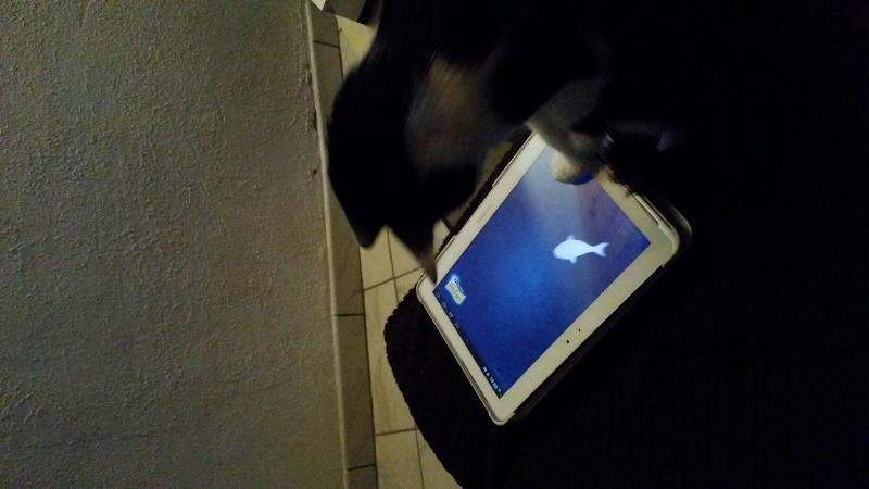 Joël, mâle, 09.2014, noir et blanc, poil mi-long 20150211