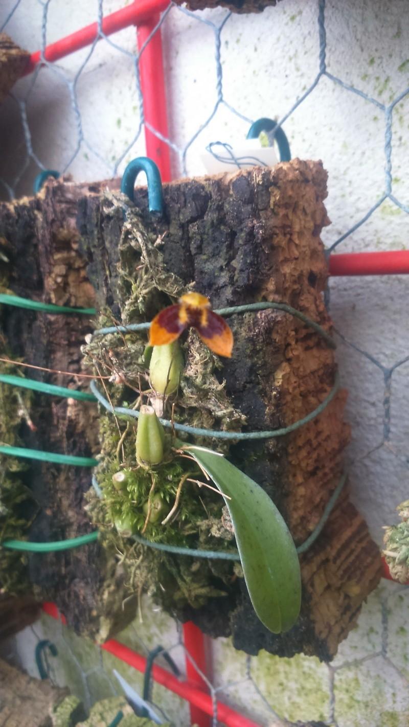 Bulbophyllum catenulatum Dsc_0618
